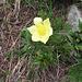 Pulsatilla alpina subsp. apiifolia (Scop.) Nyman<br />Ranunculaceae<br /><br />Pulsatilla sulfurea.<br />Pulasatille soufrée.<br />Schwefwel-Anemone.