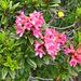 Rhododendron ferrugineum L.<br />Ericaceae<br /><br />Rododendro rosso.<br />Rhodhdendron ferrugineux.<br />Rostblättrige Alpenrose.
