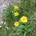 Doronicum clusii (All.) Tausch<br />Asteraceae<br /><br />Doronico del granito.<br />Doronic de Clusius.<br />Clusius'Gämswurz.