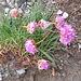 Armeria alpina Wild. s.str.<br />Plumbaginaceae<br /><br />Spillone alpino.<br />Arméria des Alpes.<br />Alpen-Grasnelke.