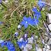 Gentiana brachyphylla Vill.<br />Gentianaceae<br /><br />Genziana a foglie brevi.<br />Gentiane à feuilles courtes.<br />Kurzblättriger Enzian.