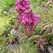 Pedicularis verticillata L.<br />Orobanchaceae (incl. Scrophulariaceae p.p.)<br /><br />Pedicolare a foglie verticillate.<br />Pediculaire verticilée.<br />Quirlblättriges Läusenkraut.<br />
