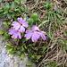 Primula integrifolia L.<br />Primulaceae<br /><br />Primula a foglie intere.<br />Primevère à feuillès entières.<br />Ganzblättrige Primel.