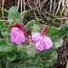 Pedicularis kerneri Dalla Torre<br />Orobanchaceae (incl. Scrophulariaceae p.p.)<br /><br />Pedicolare di Kerner.<br />Pediculaire de Kerner.<br />Kerner Läusenkraut.
