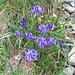Phyteuma hemisphericum L.<br />Campanulaceae<br /><br />Raponzolo alpino.<br />Raiponce hémisphérique.<br />Halbkugelige Rapunzel.