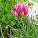 Trifolium alpinum L.<br />Fabaceae<br /><br />Trifoglio alpino.<br />Trèfle des Alpes.<br />Alpen-Klee.