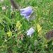 Campanula barbata L.<br />Campanulaceae<br /><br />Campanula barbata.<br />Campanule barbue.<br />Bärtige Glockenblume.<br /><br />