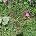 Dianthus sylvestris Wulfen<br />Caryophillaceae<br /><br />Garofano selvatico.<br />Oeillet des rochers.<br />Stein-Nelke.