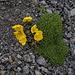 Farbtupfer in den Geröllhalden: Gelber Alpenmohn (Papaver rhaeticum)