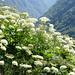 Noch zwanzig Meter zum Rifugio Alpe Fümegna: Hallers Laserkraut