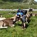 Kühe und ein Ochse auf der Alp Sura