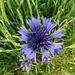 Die Blüte einer Kornblume