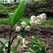 Maiglöckchen - eine giftige Pflanze