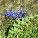 An der Heido: wahrscheinlich der Frühlingsenzian (Gentiana verna)