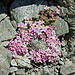 Alpen-Mannschild 1 (Androsace alpina)