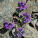 Noch einmal: Alpen-Leinkraut (Linaria alpina)