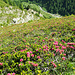 Alpenrosenhänge hinunter ins Nanztal