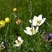 Anemonen und Trollblumen