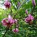 Hunderte dieser beinahe exotisch anmutenden Alpenblumen säumen den Weg vom Waldspitz zum Bort 1