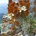 Versüsst das Klettern am Vanil Noir SW-Grat: Trauben-Steinbrech (?)