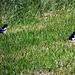 Zwei Elstern, schön schillern die Flügel in der Sonne