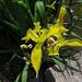 Gelbe Wasserlilie