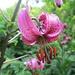 Hunderte dieser beinahe exotisch anmutenden Alpenblumen säumen den Weg vom Waldspitz zum Bort 3 - und in der Nahansicht