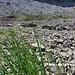 Echter, freilebender, wilder Bio-Bergschnittlauch. Nicht ganz so würzig wie sein Kollege aus dem Flachland. Am Silberensee wachsen Unmengen davon!