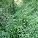 Der Pfad durch die Falletsche ist durchgängig, aber immer wieder muss man ihn regelrecht suchen - manchmal im hohen Gras