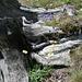Glockenblumen und Margriten vor und auf altem Wurzelstock