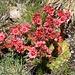 Foto vom ersten Besteigungsversuch am 27./28.7.2013: <br /><br />Spinnweb-Hauswurz (Sempervivum arachnoideum).