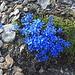 Foto vom ersten Besteigungsversuch am 27./28.7.2013: <br /><br />Blüten vom Kurzblatt-Enzian (Gentiana brachyphylla) auf 3000m!