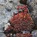 Foto vom ersten Besteigungsversuch am 27./28.7.2013: <br /><br />Filziger Spinnweb-Hauswurz (Sempervivum arachnoideum ssp. tomentosum).
