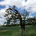 Ein alter Birnbaum