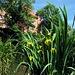 Gelbe Wasserlilien