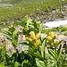 Punktierter Enzian (Genitana punctata)