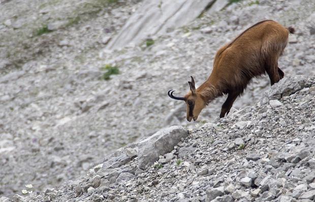 Gämse im oberen Steintal. Wer genau hinsieht, findet die kleinen Blüten des Alpenhahnenfuß, auf die sie es abgesehen hat.