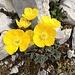 Gelber oder Rhätischer Alpenmohn (Papaver aurantiacum)