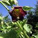Die Blüte einer Tollkirsche