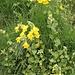 <b>Balsamina gialla (Impatiens noli-tangere) ??</b>