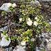 <b>Rosa delle Alpi bianca: una rarità!<br />(Rhododendron ferrugineum album)</b>