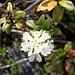 <b>Rhododendron ferrugineum album.</b>