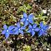 <b>Genzianella (Gentiala acaulis).</b>