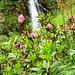 Alpenrosen und die Nala