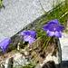 Glockenblumen recken ihre Kelche der Sonne entgegen