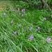 Knabenkraut (Orchis, aber welche spp?)
