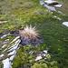 Berg Flora beim Piz da la Margna 3158m
