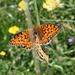 Perlmutter-Schmetterlinge beim Hochzeitstanz