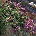 Alpen-Thymian (Thymus alpigenus)