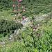 Türkenbundlilien (Lilium martagon) ....